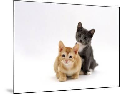 Domestic Cat, 9-Week, Red and Blue Kittens-Jane Burton-Mounted Photographic Print