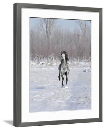 Grey Andalusian Stallion Cantering in Snow, Longmont, Colorado, USA-Carol Walker-Framed Photographic Print