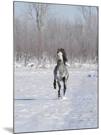 Grey Andalusian Stallion Cantering in Snow, Longmont, Colorado, USA-Carol Walker-Mounted Photographic Print