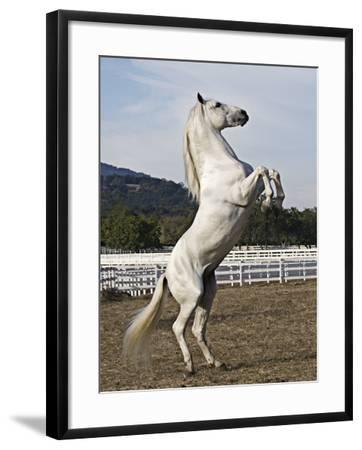 Grey Andalusian Stallion Rearing, Ojai, California, USA-Carol Walker-Framed Photographic Print