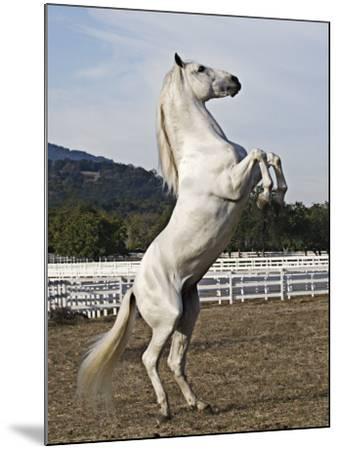 Grey Andalusian Stallion Rearing, Ojai, California, USA-Carol Walker-Mounted Photographic Print