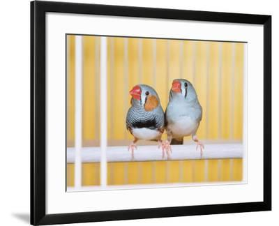 Spotted Sided Zebra Finches, Pair in Cage (Poephila / Taeniopygia Guttata)-Reinhard-Framed Photographic Print