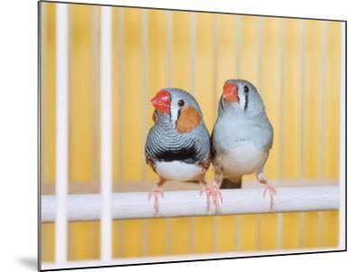 Spotted Sided Zebra Finches, Pair in Cage (Poephila / Taeniopygia Guttata)-Reinhard-Mounted Photographic Print
