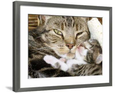 Domestic Cat, Tabby Mother and Her Sleeping 2-Week Kitten-Jane Burton-Framed Photographic Print