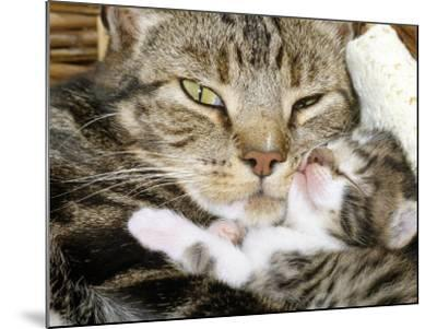 Domestic Cat, Tabby Mother and Her Sleeping 2-Week Kitten-Jane Burton-Mounted Photographic Print