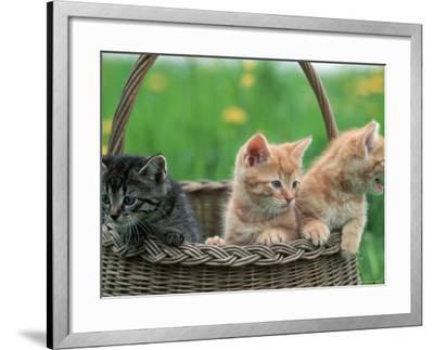 Domestic Kittens in Basket-Lucasseck-Framed Photographic Print