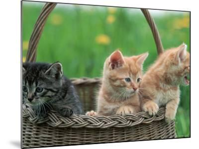 Domestic Kittens in Basket-Lucasseck-Mounted Photographic Print