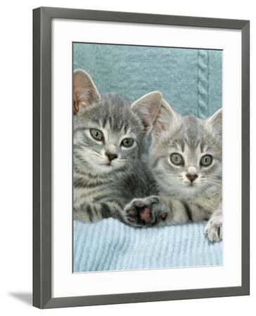 Domestic Cat, Two 8-Week Blue Tabby Kittens-Jane Burton-Framed Photographic Print
