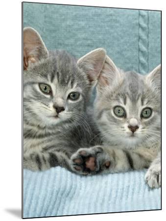 Domestic Cat, Two 8-Week Blue Tabby Kittens-Jane Burton-Mounted Photographic Print