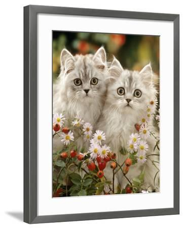 Domestic Cat, Two Silvertabby Persian Kittens Among Michaelmas Dasies and Rose Hip-Jane Burton-Framed Photographic Print