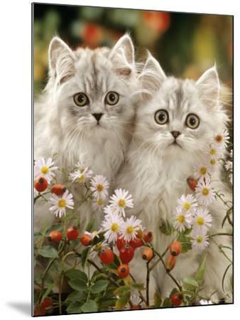 Domestic Cat, Two Silvertabby Persian Kittens Among Michaelmas Dasies and Rose Hip-Jane Burton-Mounted Photographic Print