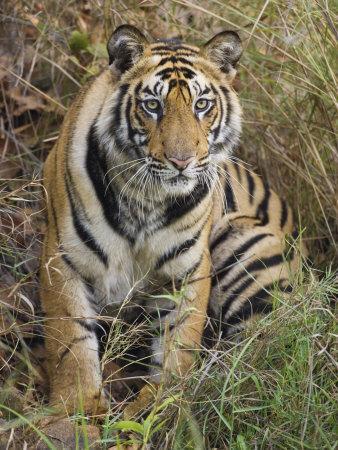 Tiger Sittingportrait, Bandhavgarh National Park, India 2007-Tony Heald-Framed Photographic Print