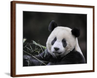 Male Giant Panda Wolong Nature Reserve, China-Eric Baccega-Framed Photographic Print