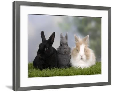 Two Dwarf Rabbits and a Lion-Maned Dwarf Rabbit-Petra Wegner-Framed Photographic Print