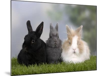 Two Dwarf Rabbits and a Lion-Maned Dwarf Rabbit-Petra Wegner-Mounted Photographic Print