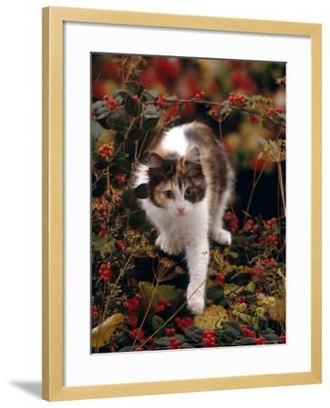 Domestic Cat, Young Tortoiseshell-And-White Among Cotoneaster Berries and Ground Elder Seedheads-Jane Burton-Framed Photographic Print