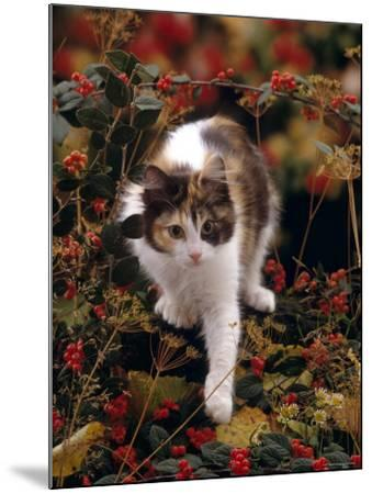 Domestic Cat, Young Tortoiseshell-And-White Among Cotoneaster Berries and Ground Elder Seedheads-Jane Burton-Mounted Photographic Print