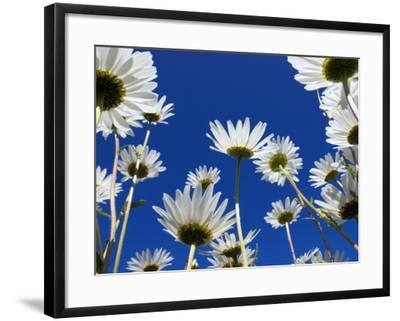 Oxeye Daisy Flowers, Cornwall, UK-Ross Hoddinott-Framed Photographic Print