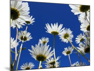Oxeye Daisy Flowers, Cornwall, UK-Ross Hoddinott-Mounted Photographic Print