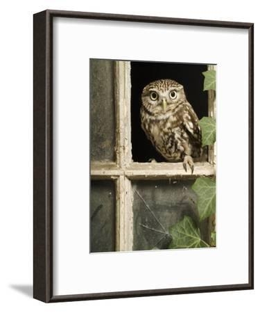 Little Owl in Window of Derelict Building, UK, January-Andy Sands-Framed Photographic Print