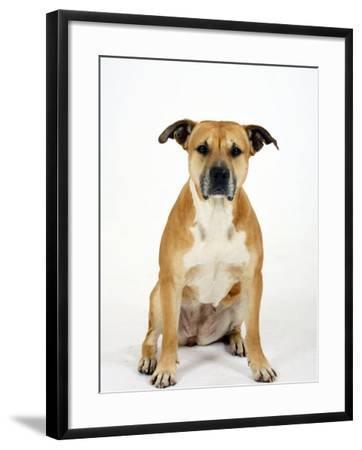 American Staffordshire Terrier Staffy Sitting Portrait-Petra Wegner-Framed Photographic Print