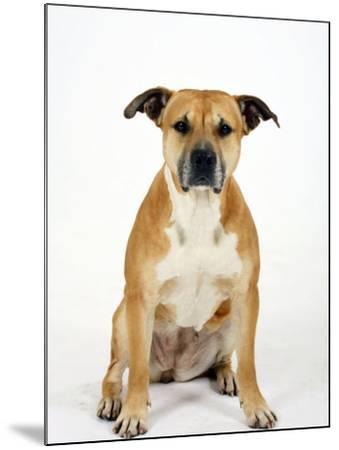 American Staffordshire Terrier Staffy Sitting Portrait-Petra Wegner-Mounted Photographic Print