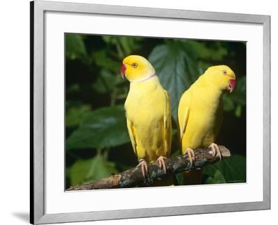Alexandrine Parakeet, USA-Lynn M^ Stone-Framed Photographic Print