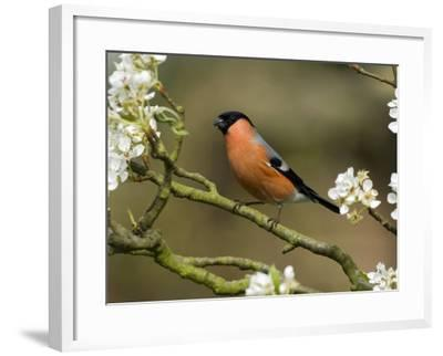 Male Bullfinch Feeding Amongst Blossom, Buckinghamshire, England-Andy Sands-Framed Photographic Print