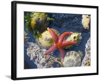Blood Star, with Limpets and Barnacles Exposed at Low Tide, Tongue Point, Washington, USA-Georgette Douwma-Framed Photographic Print