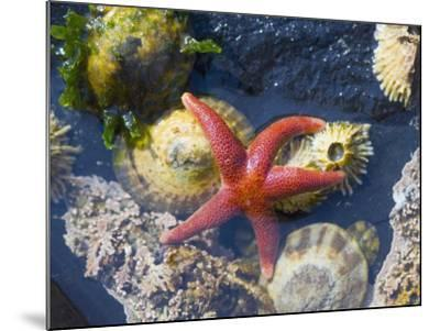 Blood Star, with Limpets and Barnacles Exposed at Low Tide, Tongue Point, Washington, USA-Georgette Douwma-Mounted Photographic Print