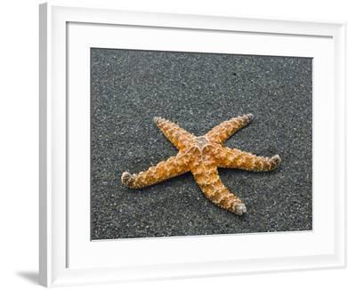 Ochre Seastar, Exposed on Beach at Low Tide, Olympic National Park, Washington, USA-Georgette Douwma-Framed Photographic Print