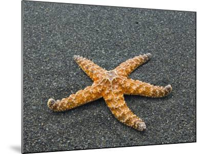 Ochre Seastar, Exposed on Beach at Low Tide, Olympic National Park, Washington, USA-Georgette Douwma-Mounted Photographic Print