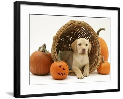 Yellow Labrador Retriever Pup Lying in Wicker Basket and Pumpkins at Halloween-Jane Burton-Framed Photographic Print