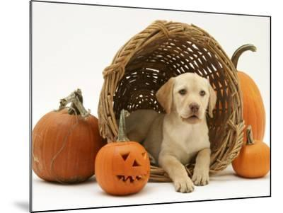 Yellow Labrador Retriever Pup Lying in Wicker Basket and Pumpkins at Halloween-Jane Burton-Mounted Photographic Print