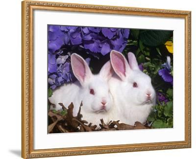 Two Albino New Zealand Domestic Rabbits, USA-Lynn M^ Stone-Framed Photographic Print