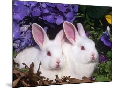 Two Albino New Zealand Domestic Rabbits, USA-Lynn M^ Stone-Mounted Photographic Print