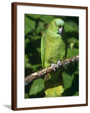 Mealy Amazon Parrot-Lynn M^ Stone-Framed Photographic Print