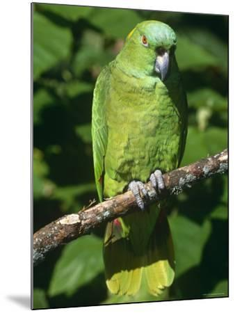 Mealy Amazon Parrot-Lynn M^ Stone-Mounted Photographic Print