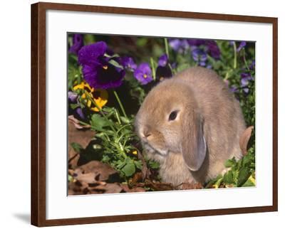 Baby Holland Lop Eared Rabbit, USA-Lynn M^ Stone-Framed Photographic Print