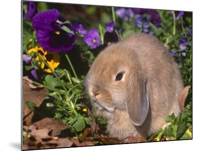 Baby Holland Lop Eared Rabbit, USA-Lynn M^ Stone-Mounted Photographic Print