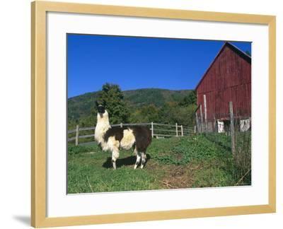 Domestic Llama, on Farm, Vermont, USA-Lynn M^ Stone-Framed Photographic Print