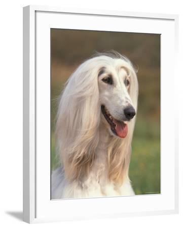 Domesti Dog, Afghan Hound Portrait-Adriano Bacchella-Framed Photographic Print