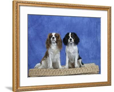 Dogs, Two Cavalier King Charles Spaniels on Basket-Petra Wegner-Framed Photographic Print