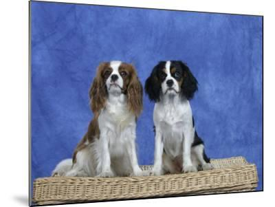 Dogs, Two Cavalier King Charles Spaniels on Basket-Petra Wegner-Mounted Photographic Print