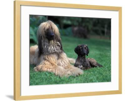 Domestic Dogs, Afghan Hound Lying on Grass with Puppy-Adriano Bacchella-Framed Photographic Print