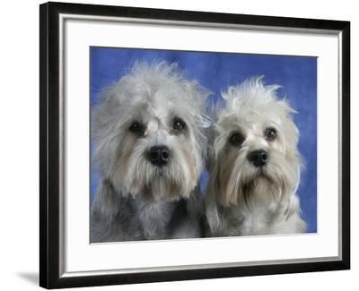 Two Dandie Dinmont Terrier Dogs-Petra Wegner-Framed Photographic Print