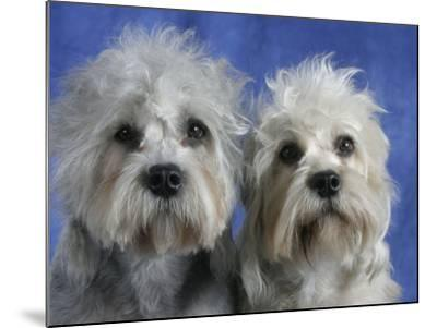 Two Dandie Dinmont Terrier Dogs-Petra Wegner-Mounted Photographic Print