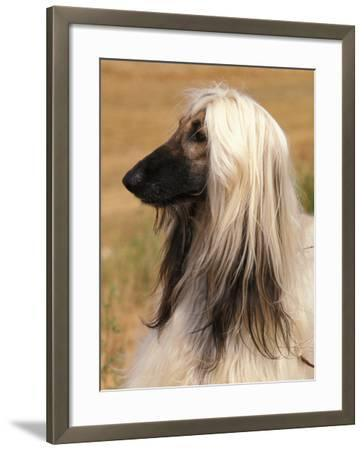 Afghan Hound Profile-Adriano Bacchella-Framed Photographic Print