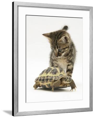 Silver Tabby Kitten Looking at a Hermann's Tortoise Walking-Jane Burton-Framed Photographic Print