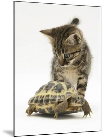 Silver Tabby Kitten Looking at a Hermann's Tortoise Walking-Jane Burton-Mounted Photographic Print